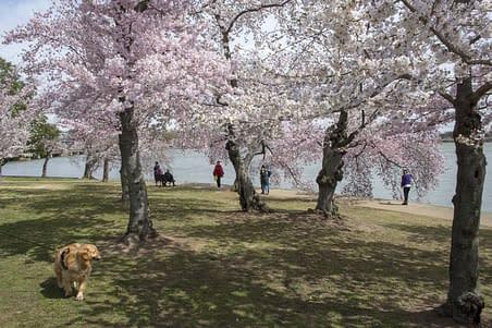 Dog-visitors-enjoy-cherry blossoms