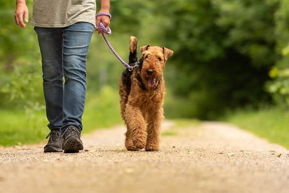 puppy-love-pet-sitters-dog-Airedale-Terrier-walking-CnO-canal